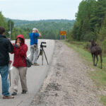 Moose and Visitors Meed along Highway 60