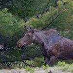 Young Moose - 2010 Algonquin Park