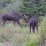 Two young Moose - 2010 Algonquin Park