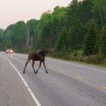 Moose on HighWay 60