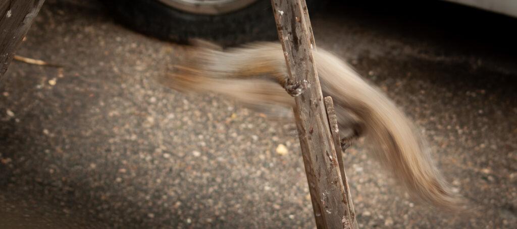 Squirrel motion blur