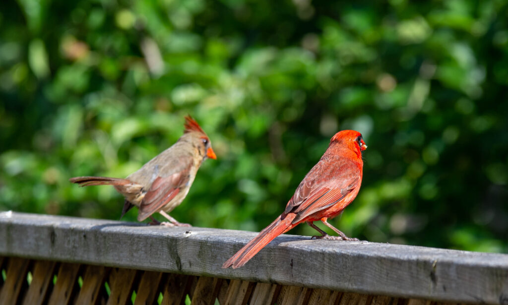 2 Cardinals on a fence